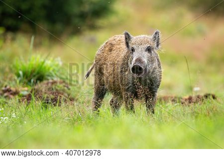 Cute Wild Boar Piglet Looking Into Camera On A Green Meadow In Summer Nature