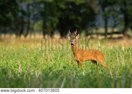 Strong Roe Deer With Large Antlers Standing Looking On A Stubble Field In Summer