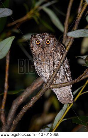 Alert Eurasian Scops Owl Looking Into Camera At Night
