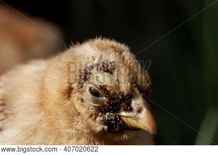 Chicken With A Sticktight Flea Infestation