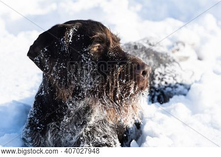 The Close-up View, Like A Dog Lying In The Snow, Perfectly Watches And Observes The Area. German Wir