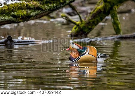 Two Beautiful Male Mandarin Ducks Swimming In A Little Pond Called Jacobiweiher Not Far Away From Fr