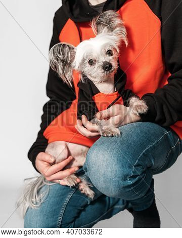 Closeup Portrait Of Cute Chinese Crested Dog Sitting On Owner Arms And Looking Into Camera. Both Wea