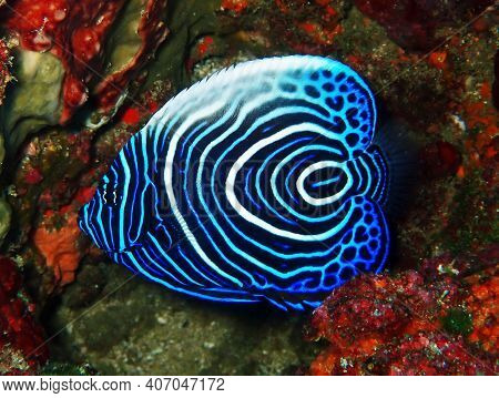 Beautifully Coloured Emperor Angelfish Swimming Around The Coral