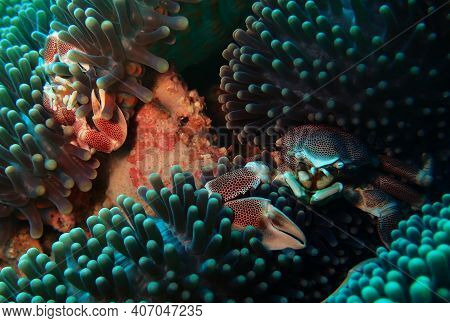 Large And Small Spotted Porcelain Crabs In An Anemone