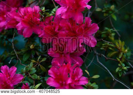Alpine Rose Flowering Plant With Crimson Red Flowers Closeup