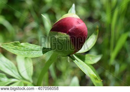 Close Up Of An Ant On A Pink Peony Bud. Pink Peony Flower Bud Beginning To Open, With Ant Feeding On
