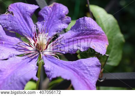Clematis Flower After The Rain With Water Droplets On The Flower Petals. Purple Clematis Branch With