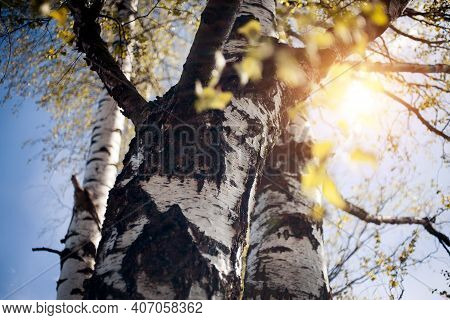 The Trunk Of A Birch Tree. Fresh Spring Leaves On The Branches Of A Birch Tree In The Rays Of The Se