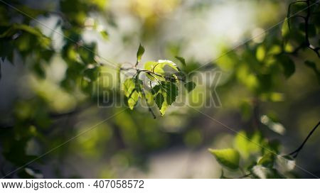 Fresh Spring Leaves On Birch Branches. Background With Green Birch Branches. The Appearing Leaves On