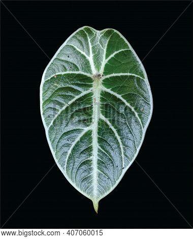 Alocasia Black Velvet Leaf, Alocasia Reginula Plant, Isolated On Black Background