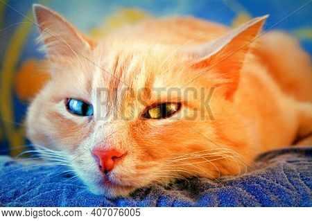 Ginger Cat Eyes Of Different Colors Closeup. Red Ginger Cat Face And Cute Eyes Laying In House. Pet