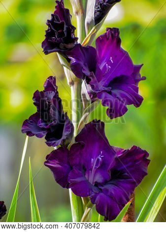 Violet Gladiolus Flower Or Black Sword Lily. Violet Gladiolus Closeup In Garden. Beautiful Black Gla