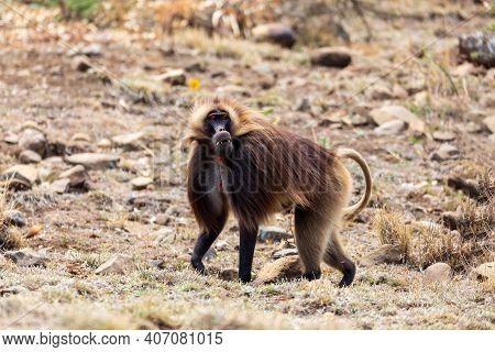 Male Of Ethiopian Endemic Animal Monkey Gelada Baboon. Theropithecus Gelada, Debre Libanos, Simien M