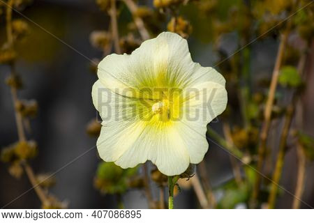Hollyhock Growing In Garden. White And Yellow Flower Of Hollyhock Close Up. Malva. Malvaceae Family.