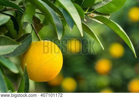 Ripe orange hanging on a tree in the fruit garden. Orange fruit close-up