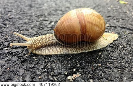Small Garden Snail In Shell Crawling On Wet Road, Slug Hurry Home. Snail Slug Consist Of Edible Tast