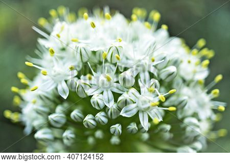 White Wild Allium Flowers With Yellow Stamens Close Up With Selective Focus On Green Blurred Backgro