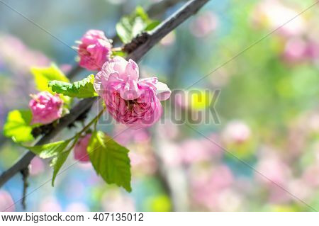 Springtime Blossom Flowers With Copy Space For Text. Delicate Pink Flower Head In Bloom In Sunlight,