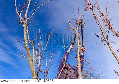 Elderly Farmer, Gardener Is Pruning Branches Of Fruit Trees Using Long Loppers In Orchard At Early S