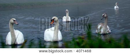 Swans Basphoto
