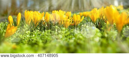 Yellow Blooming Crocuss In Sunny Spring. Seasonal Background With Light Bokeh And Short Depth Of Fie