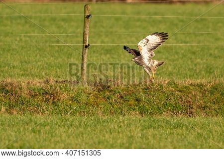 Large Bird Of Prey Flies Above A Ditch In A Meadow And Hunts For
