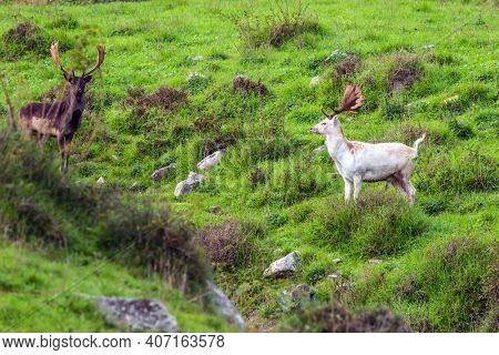 Hunting Park in fabulous New Zealand. Gorgeous spotted deer with huge beautiful horns. Green grassy hills of the park for breeding deer. The concept of exotic and active tourism