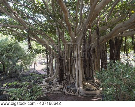 View Of Giant Ficus Socotrana With Vertical Roots In Botanical Garden, Jardin Botanico Canario Viera