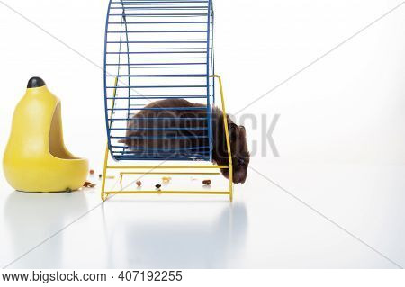 Hamster Get Out Of The Wheel. The Hamster Gets Out Of The Wheel For A Snack. Isolate.