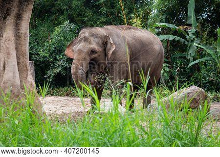 The Critically Endangered Sumatran Elephant At Taman Safari Park