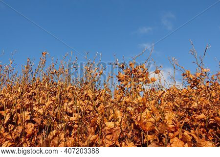A Beech Hedge In Fall Or Autumn Colours Contrasting With A Bright Blue Sky