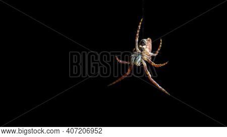 Spider Descending On Cobweb Isolated On Black Background, Empty Space For Text