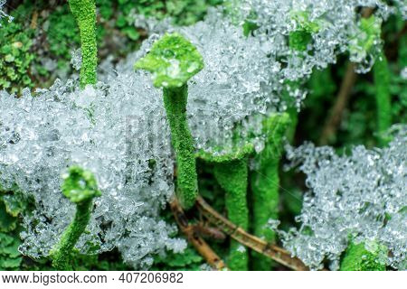 Moss Covered With Snow, From An Extreme Close Range, Macro Shot