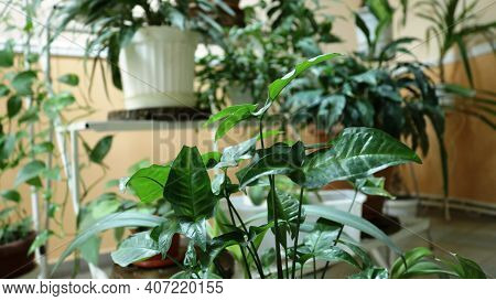 Green Corner Of Indoor Greenery Arranged On Shelves As An Interior Decor, Various House Flowers At D