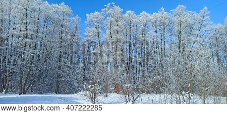 Trees Covered With Hoarfrost. Frosty Weather. Wonderful Winter In Forest. Top Tree Branches In Snow.