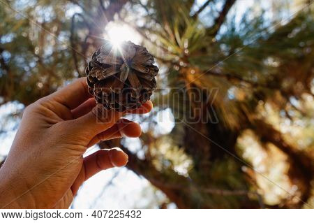 Pinecone In A Hand With Some Sunlight In The Background