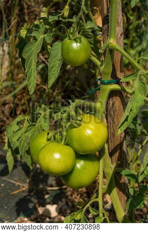A Bunch Of Unripe Dunne Tomatoes, A Cross Between The San Marzano And Dattero Varieties. Growing In
