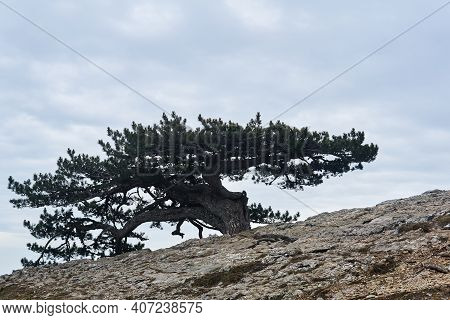 Bizarre Crooked Pine Tree Grows On A Rock At The Edge Of A Precipice