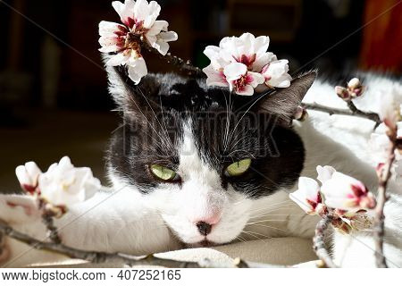 Charming Black And White Cat With Pink And White Spring Flowers. Sakura. Springtime Holidays.