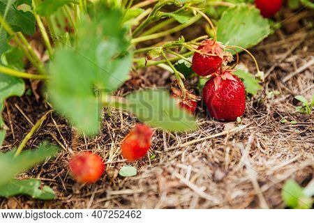 Industrial Cultivation Of Strawberries Plant. Bush With Ripe Red Fruits Strawberry In Summer Garden