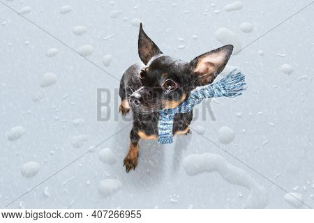 Prague Ratter Dog In Rain And Snow Bad Weather Ready To Go For A Walk With Leash And Scarf