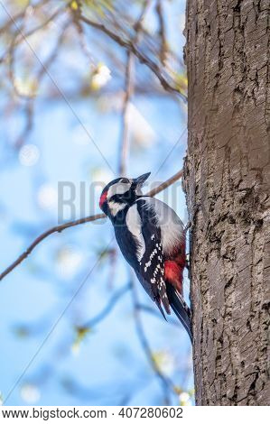 Little Woodpecker Sits On A Tree Trunk. A Woodpecker Obtains Food On A Large Tree In Spring. The Gre