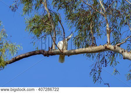 A Sulphur-crested White Cockatoo Perched Inquisitively On A Tree Branch Against A Blue Sky Backgroun