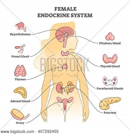 Female Endocrine System With Inner Glands, Pancreas And Ovary Outline Concept