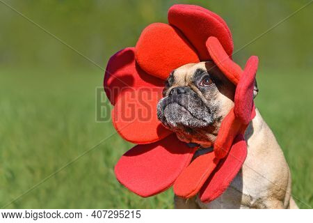 French Bulldog Dog Dressed Up As Funny Spring Flower With Red Petal Headband Costume