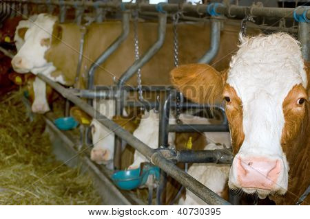 Simmental Cattle in a Stable