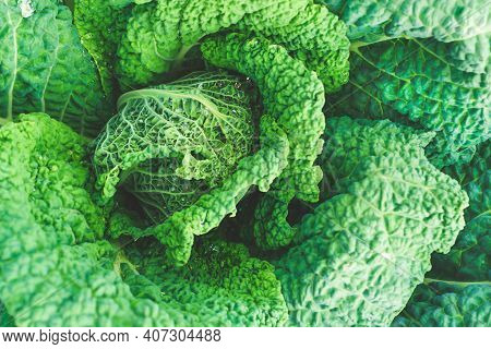 Green Cabbage With Drops Of Water. Growing Cabbage In The Garden. Green Leaves Of Cabbage. Healthy F