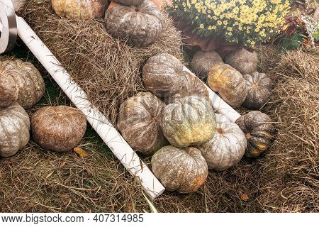 Set Of A Green Pumpkins Laying On The Grass . Ripe Vegetables, Autumn Harvest. Toned.