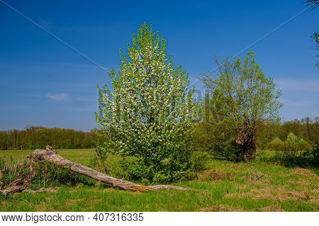 Blooming Wild Pear Tree On A Background Of Green Meadow. Spring Season In The Countryside.